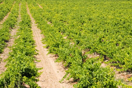 a view of a vineyards landscape in Spain Stock Photo - 7348934