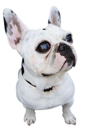 british bulldog: a humorous pciture of an english bulldog isolated on a white background Stock Photo