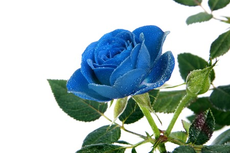 flores de cumplea�os: una rosa azul aislada en un fondo blanco