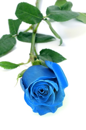 a blue rose isolated on a white background Stock fotó - 7435718