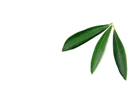 some olive tree leaves isolated on a white background photo