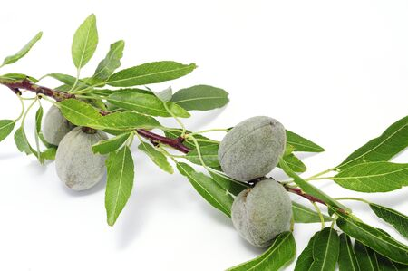 almond tree: a branch of almond tree with fruits on a white background