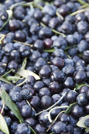 recollection: closeup of a pile of black olives during the recollection