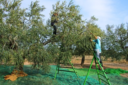 harvesting olives in a olive grove in Catalonia, Spain photo