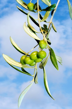 cloesup: cloesup of an olive tree over the sky