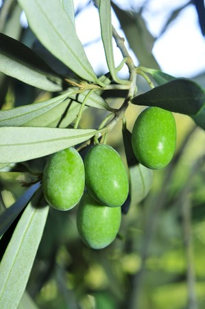 closeup of an olive tree branch before harvesting Stock Photo - 7835570