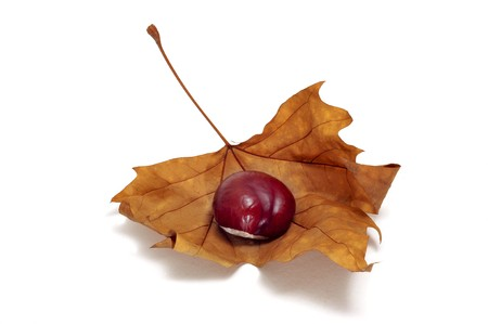 buckeye seed: a chestnut in a autumn leaf isolated on a white background