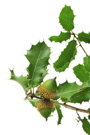 an oak branch with acorns on a white background Stock Photo - 7905054