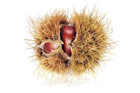 buckeye seed: some chestnuts in its shell isolated oin a white background