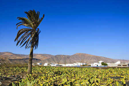 A cactus cultivation in Lanzarote, Canary Islands, Spain photo