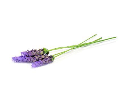 lavanda: flores de lavanda aislados en un fondo blanco  Foto de archivo