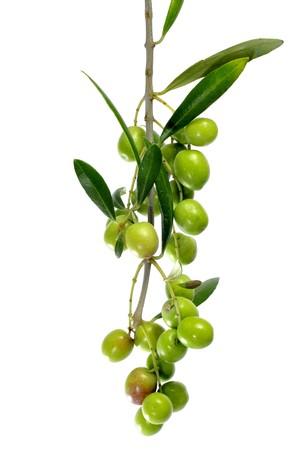 hoja de olivo: una rama de olivo aislada en un fondo blanco