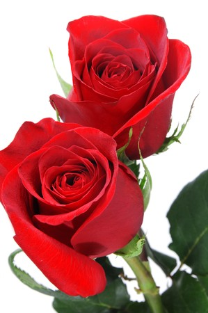 closeup of two red roses isolated on a white background Stock Photo - 8126813