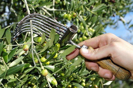 cosecha de aceitunas en un olivar en Cataluña, España Foto de archivo
