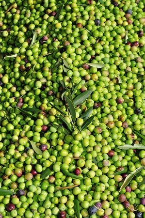 a pile of olives after the harvesting in an olive grove in Catalonia, Spain photo