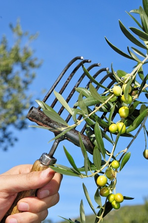 harvesting olives in an olive grove in Catalonia, Spain photo