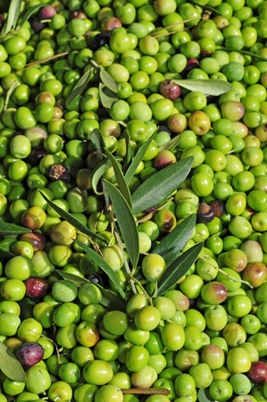 a pile of olives after the harvesting in a olive grove in Spain photo