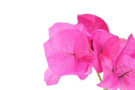 Bougainville pink flowers on a white background photo