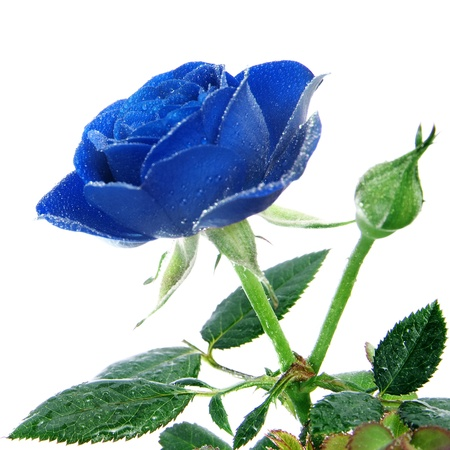 velvety: a blue rose isolated on a white background