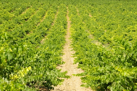 view of a landscape of vineyards in Spain Stock Photo - 8636838