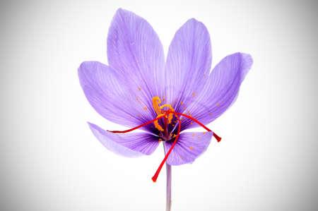 vignetted: a saffron flower on a vignetted background