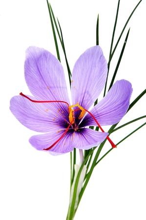 白い背景の上のサフランの花由来 写真素材