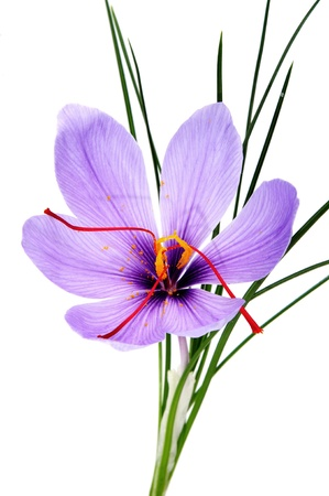 saffron: a saffron flower isoalted on a white background