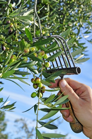 olive groves: someone harvesting olives in a olive grove in Catalonia, Spain Stock Photo