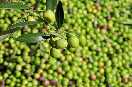 catalonia: harvesting olives in an olive grove in Catalonia, Spain