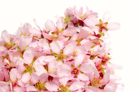blossoming yellow flower tree: closeup of a pile of pink almond blossom on a white background