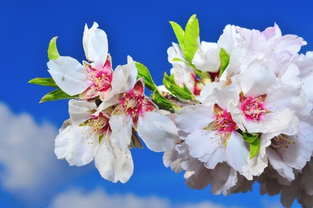 close up of a branch with almond blossom photo