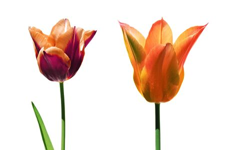 some tulips isolated on a white background Stock Photo