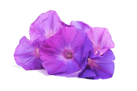 some morning glory flowers on a white background Stock Photo - 9104347