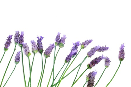 lavender flowers: a pile of lavender flowers on a white background