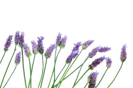 fiori di lavanda: un mucchio di fiori di lavanda su sfondo bianco