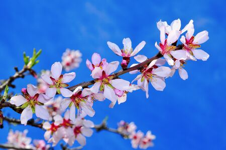 flowering field: closeup of a blossoming almond tree in full bloom