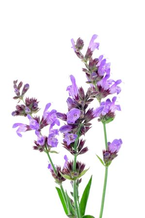 white salvia: salvia flowers on a white background Stock Photo