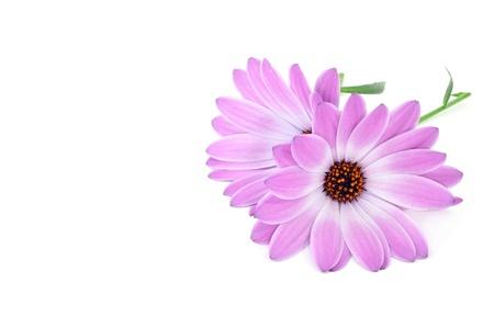 closeup of few wild purple daisies Stock Photo