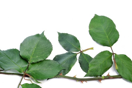 leaves, branches and stems of rose on a white background Stock Photo - 9482264