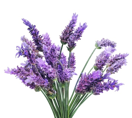 a bunch of lavender flowers on a white background Stock Photo - 9527411