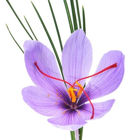 白い背景の上のサフランの花のクローズ アップ