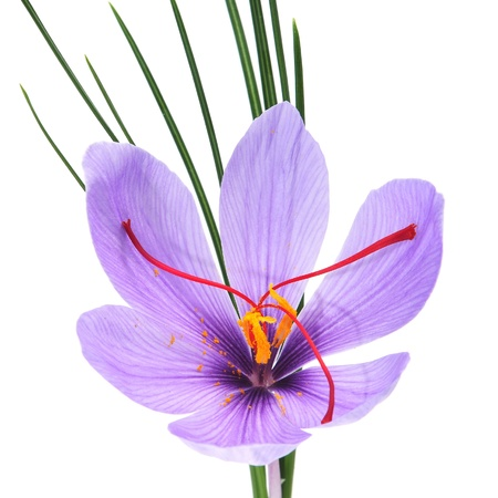 closeup of a saffron flower on a white background