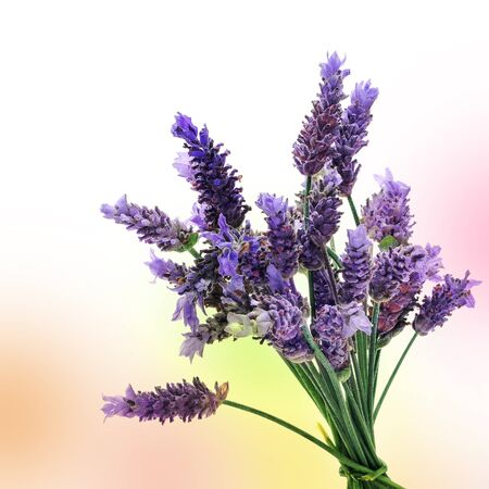 lavender flowers: a bunch of lavender flowers on a colorful background