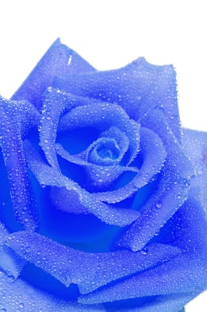 closeup of a blue rose on a white background
