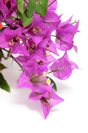 bougainvillea flowers: a branch of bougainvillea on a white background Stock Photo