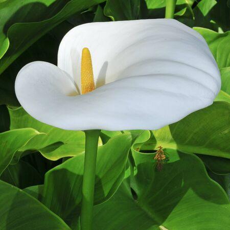 fleur arum: plan rapproch� d'un aethiopica Zantedeschia ou Lily of the Nile