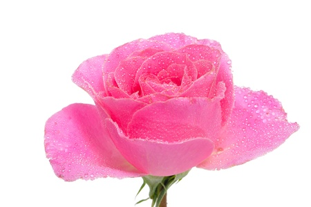 closeup of a pink rose on a white background photo