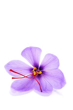 saffron: a saffron flower on a white background Stock Photo