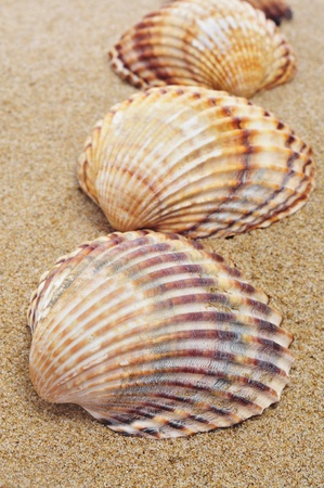 clam: a pile of seashells on the sand Stock Photo