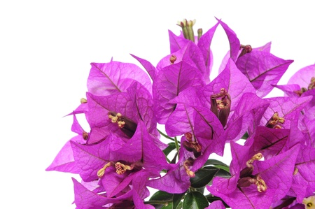 bougainvillea: some bougainvillea flowers on a white background